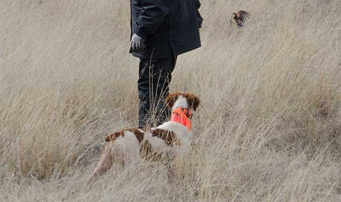 Prestige Gun Dogs | Golden Retriever and Brittany Gun Dogs